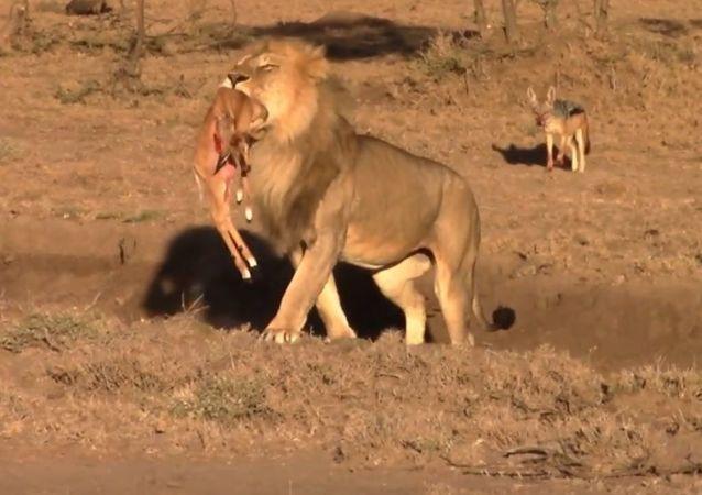 Un león roba la presa de chacales