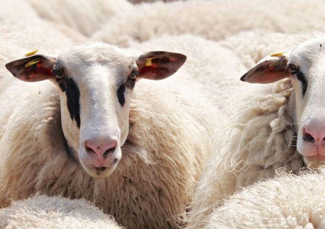 Unas ovejas, referencial