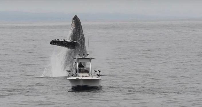 Ballena jorobada salta fuera del agua