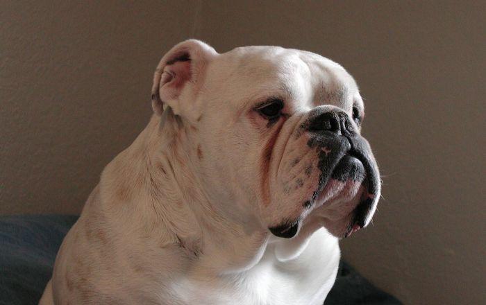 Un bulldog