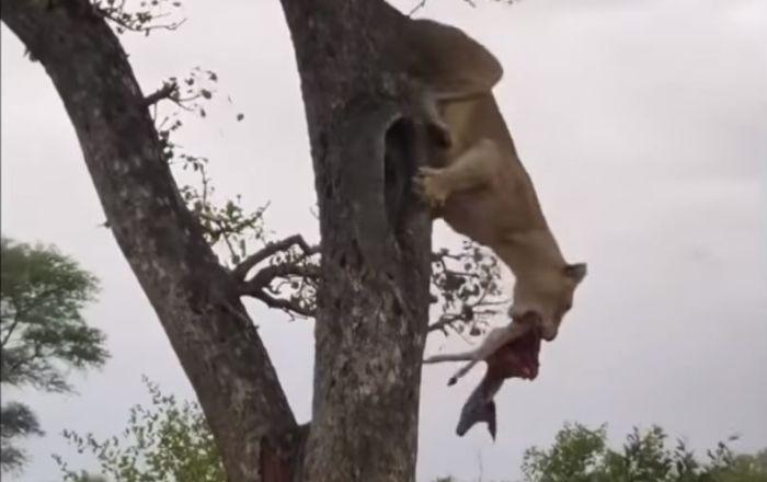 ¡Con hambre no hay pan duro!: hasta las reinas de la selva pueden convertirse en ladronas