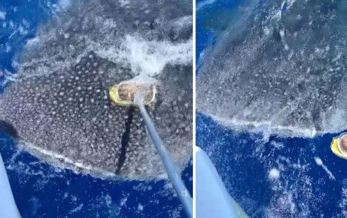Un tiburón ballena también quiere caricias