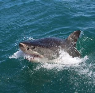 Tiburón (imagen referencial)