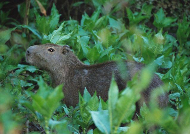 Un capibara