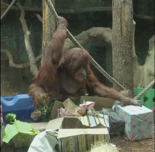 La orangutana Nénette celebra su 50 aniversario