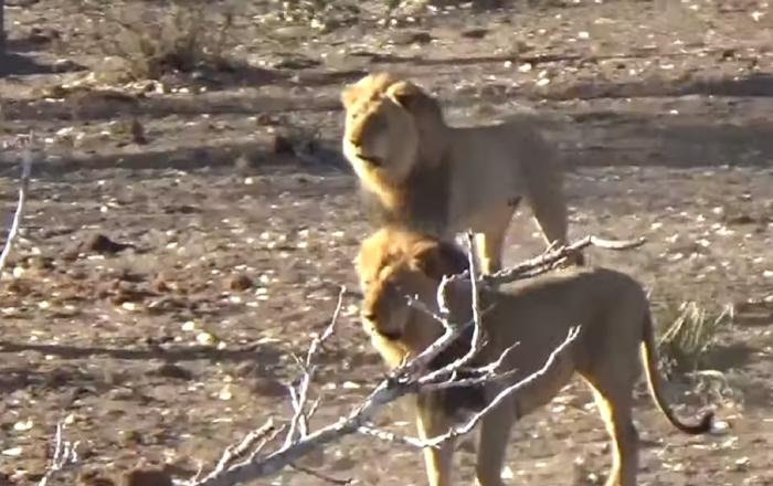 'Juego de Tronos' al estilo salvaje: dos leones perturban la siesta del 'reino vecino'