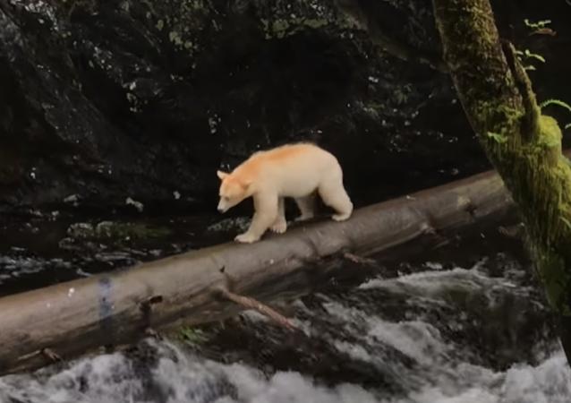 El oso Kermode