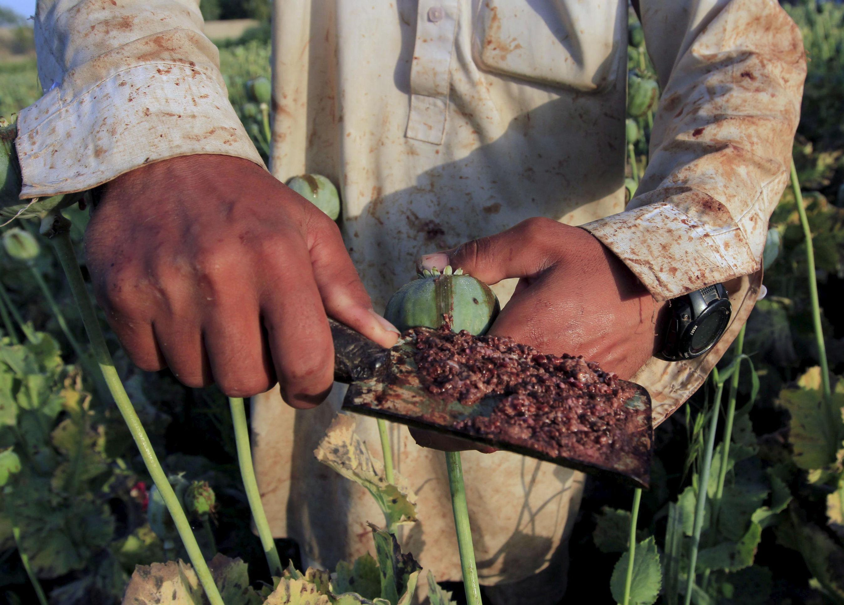 Un agricultor de amapolas recoge el opio crudo de una cabeza.