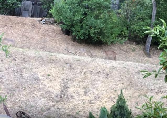 Un puma pone en su sitio a dos coyotes