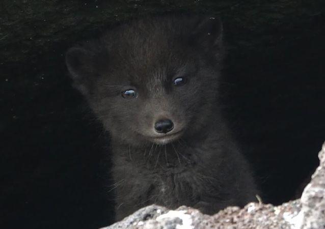 Un zorro ártico (imagen referencial)