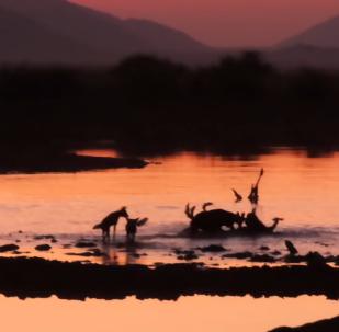 Perros salvajes se comen un impala