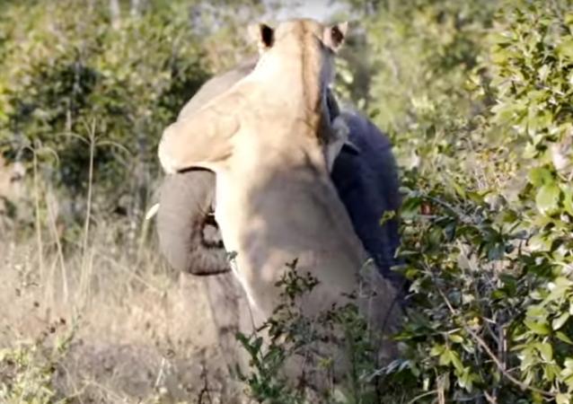 El duelo entre una  leona y un elefante tiene un final inesperado