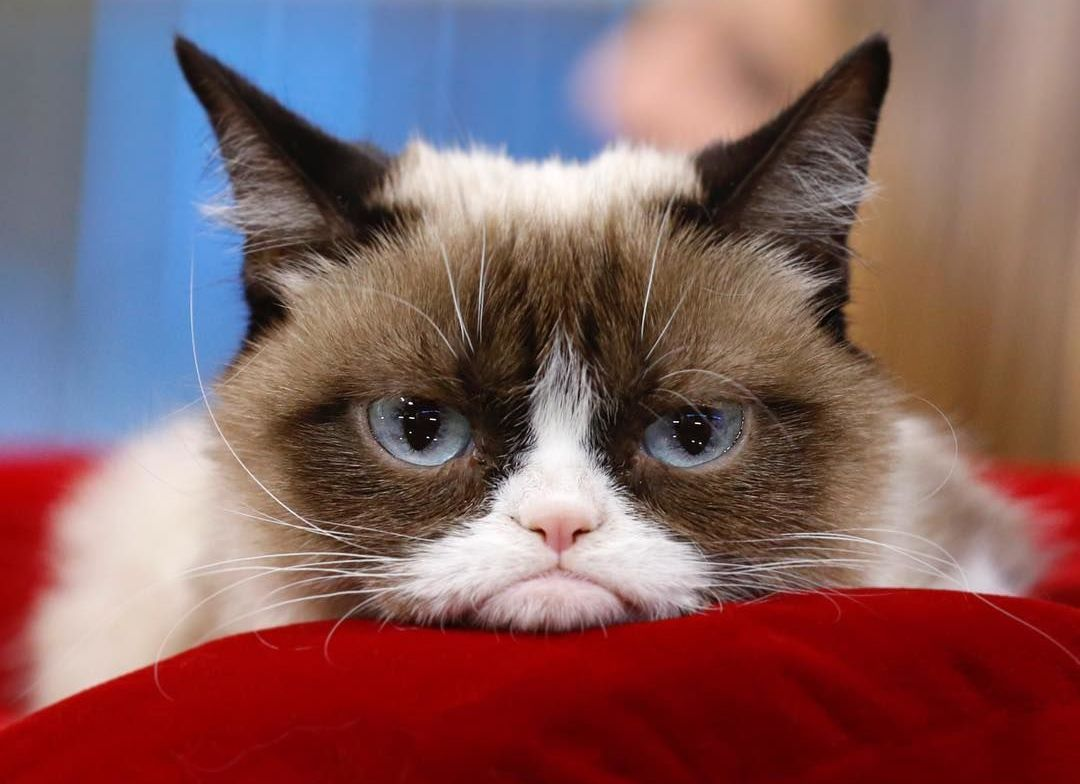 Grumpy cat, la famosa gata gruñonaGrumpy cat, la famosa gata gruñona