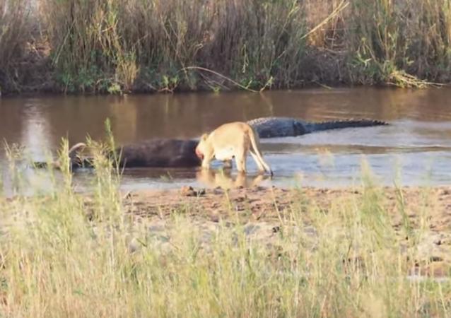 Unos buitres se frotan las manos mientras una leona y un cocodrilo se zampan un búfalo