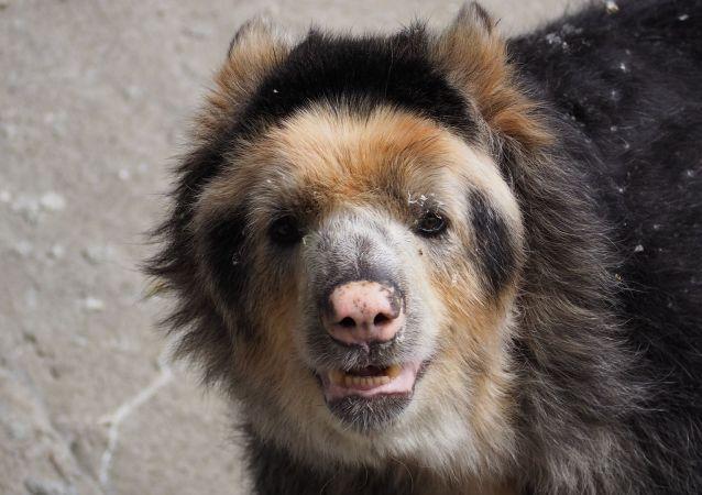 Un oso andino. Imagen referencial