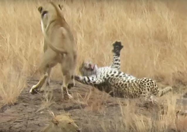 Un leopardo se salva de una emboscada de leones