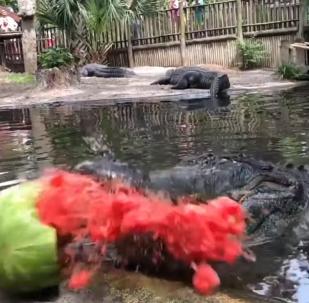 Un cocodrilo enseña cómo partir una sandía en 1.000 pedazos en segundos
