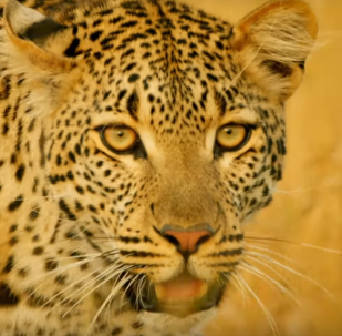 Los leopardos ni se pueden acercar a este animal
