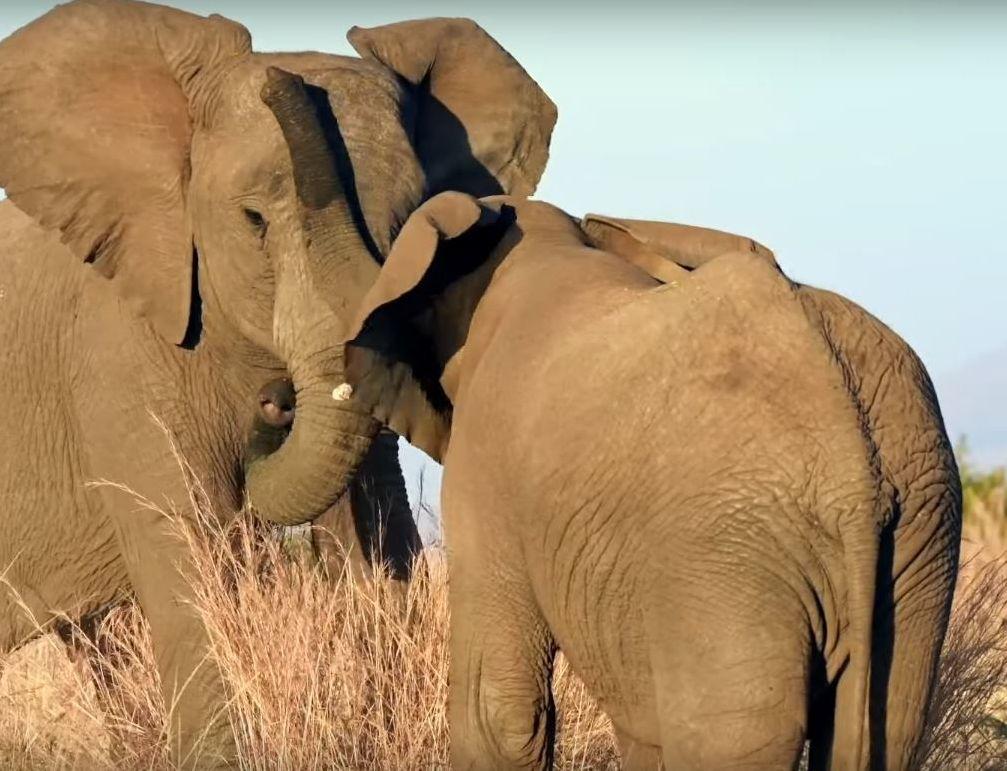 El combate de los elefantes