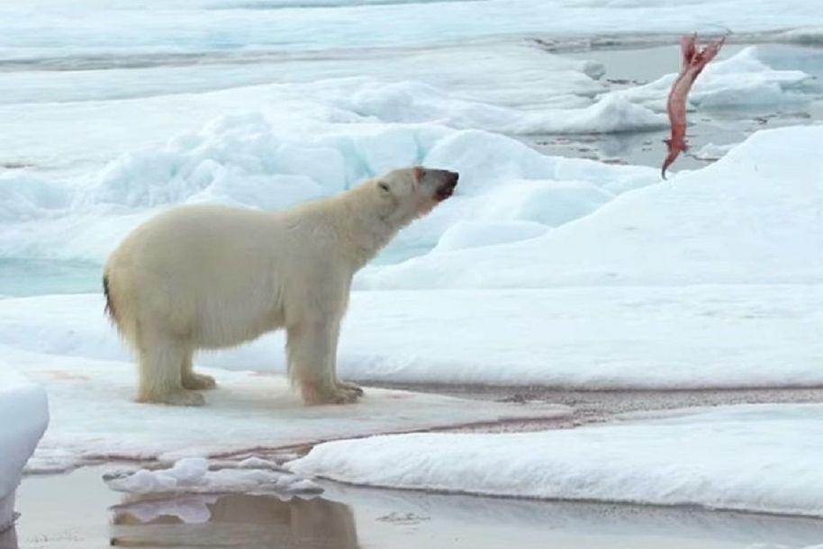 Un oso polar juega con su presa