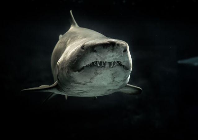 Un tiburón blanco, referencial