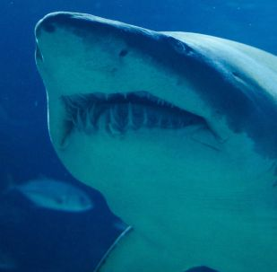 Un tiburón blanco
