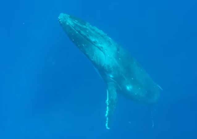 Como submarinos: unas ballenas jorobadas dejan atónito a un buceador