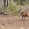 Este antílope no se dio cuenta de que una serpiente planeaba su asesinato