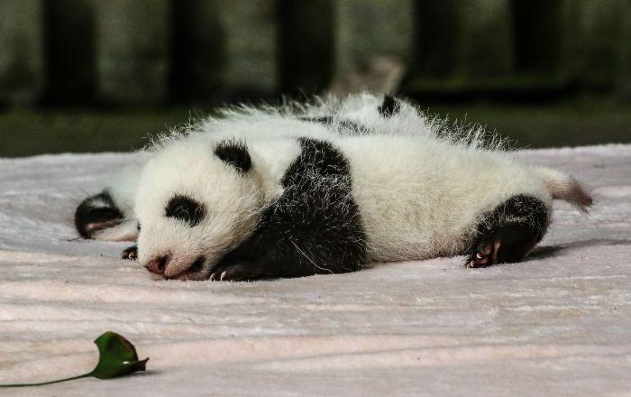 Dos crías de panda