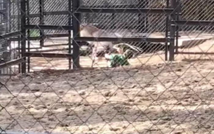 Ataque de un ciervo en Yuzhno-Sajalinsk