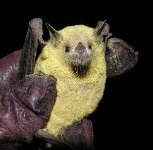 Murciélago magueyero menor cubierto de polen