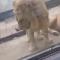 El hilarante momento en el que un león quiere acostarse junto a una leona