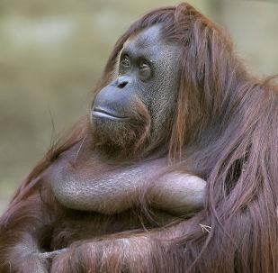 La orangutana Sandra