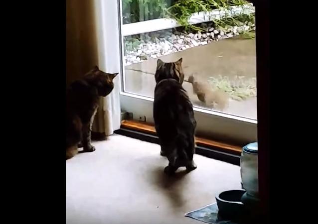 Una descarada ardilla pone a prueba la paciencia de dos gatos