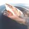 Un tiburón blanco circunda un barco de pescadores antes de atacarlo