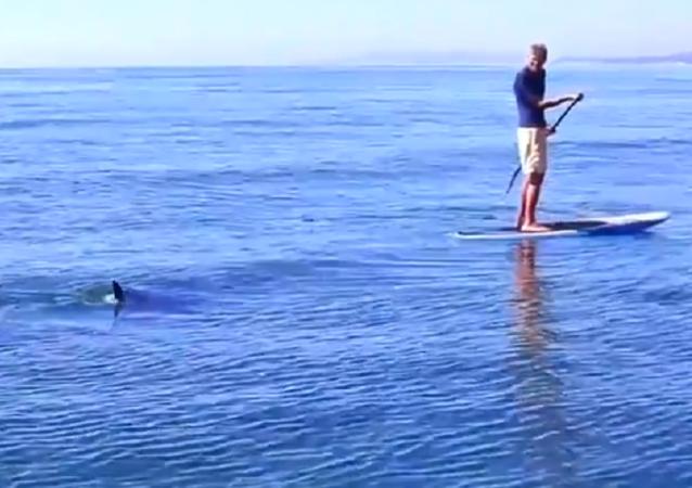 Dos tiburones blancos persiguen a unos surfistas durante media hora