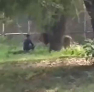 Un hombre irrumpe en el recinto de un león y mira lo que pasa