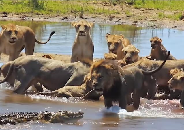 Un cocodrilo interfiere inesperadamente en el festín de unos leones