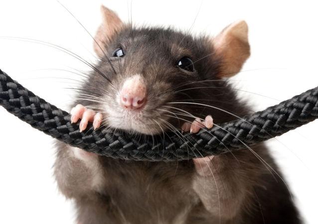 Una rata, imagen referencial