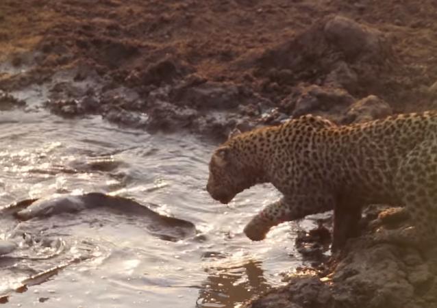 Un leopardo hambriento no le hace ascos a un bocado cenagoso