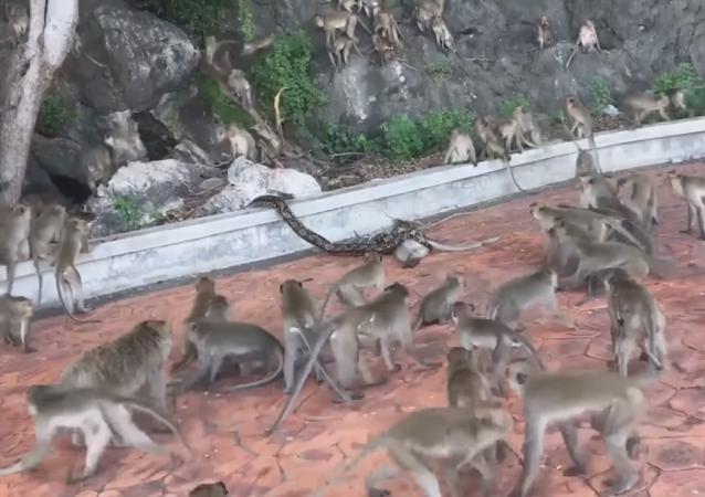 Una pitón estrangula a un mono ante las miradas desesperadas de su pandilla