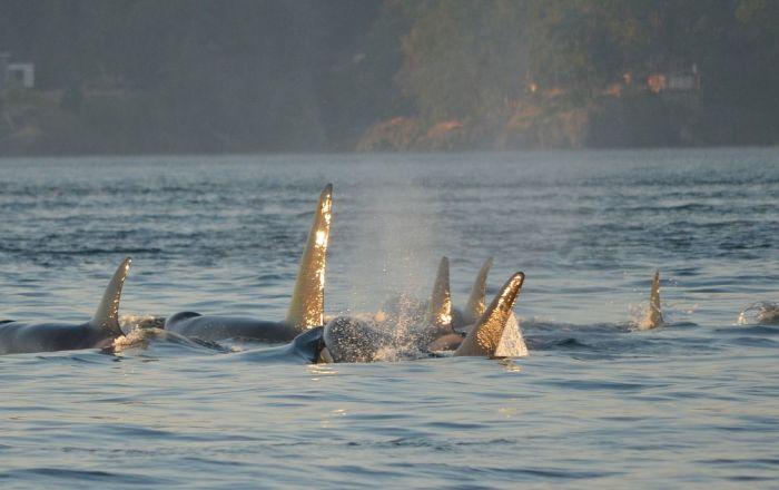 Un grupo de ballenas orcas (archivo)
