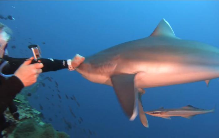 Un tiburón golpeado por un buzo