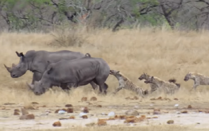 Una hienas se enfrentan a un rinoceronte casi 20 veces más grande que ellas