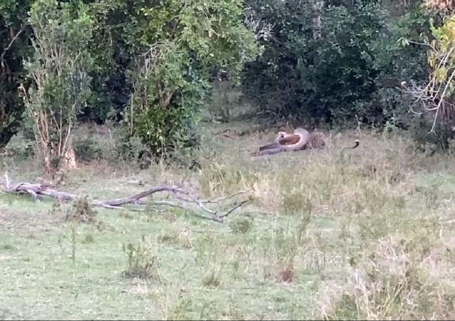 Un leopardo pelea con una pitón