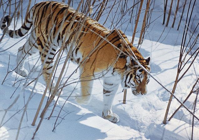 Raras especies de tigres en peligro de extinción