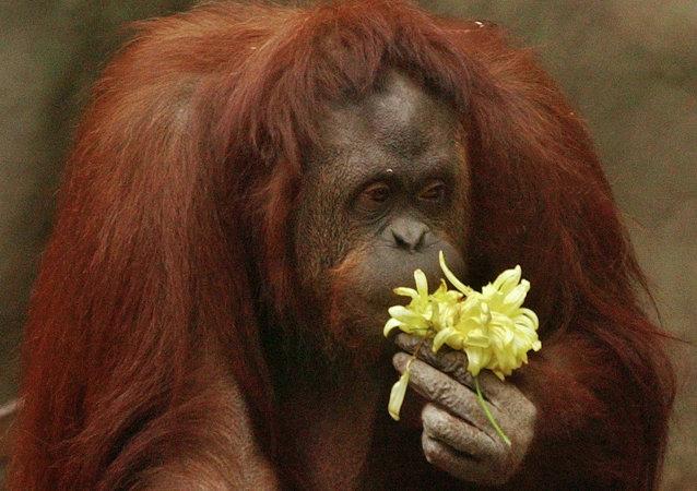 Самка орангутана по имени Сандра нюхает цветок в зоопарке Буэнос-Айреса. 21 сентября 2004 года