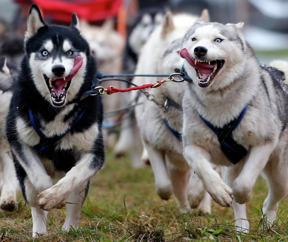 A musher races with his dogs during a sled dog European Championship in Venek November 22, 2014.