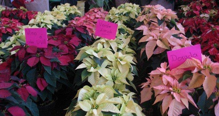 Producción de plantas de Nochebuena