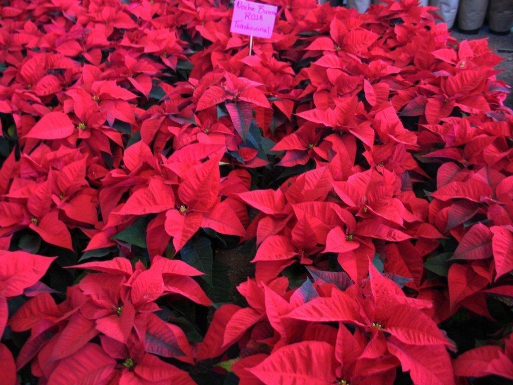 Flores de la Nochebuena del color rojo